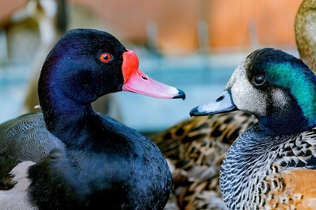 Closeup portrait of a ducks in a farm
