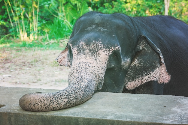 Closeup portrait of elephant with large trunk on the farm in sri lanka