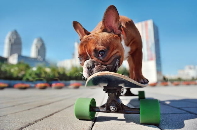 Closeup portrait of a french bulldog puppy playing with the skateboard