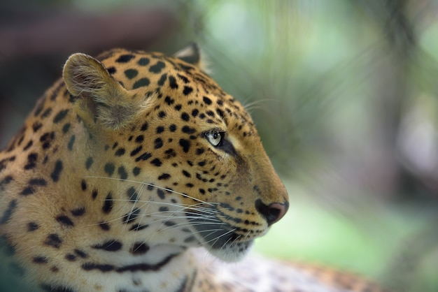 Closeup portrait of jaguar