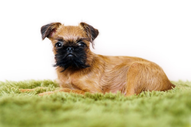 A closeup portrait of a lovely adorable griffon puppy with big curious eyes lying on a bed on a green plaid