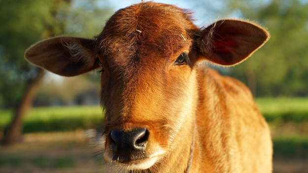 Closeup portrait of a lovely brown cow calf in a summer field