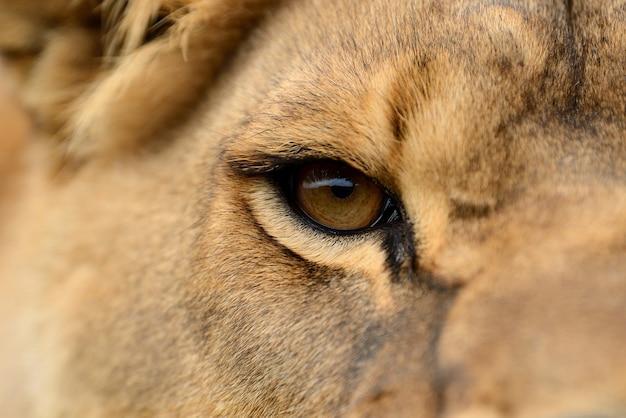 アフリカ ライオンのクローズ アップの肖像画