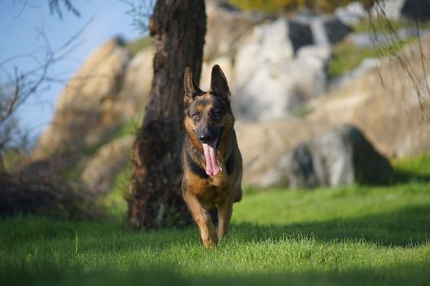 草の上を走っているかわいいジャーマンシェパード犬のクローズアップの肖像画