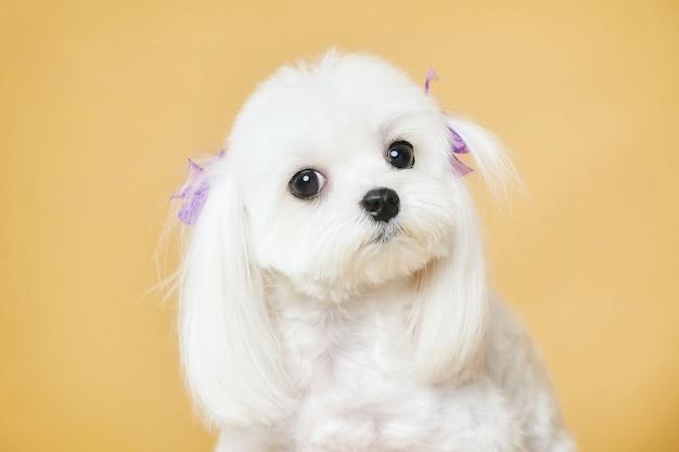 노란색 배경의 스튜디오에서 카메라 사진 촬영을 똑바로 바라보고 있는 귀여운 몰타 무릎 강아지의 클로즈업 초상화