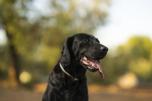 화창한 날 야외에서 래브라도 리트리버 강아지의 근접 촬영 초상화