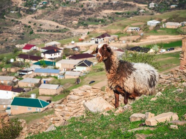 汚れた羊毛と羊のクローズアップの肖像画。山の村の背景に面白い羊。ダゲスタン。 Premium写真