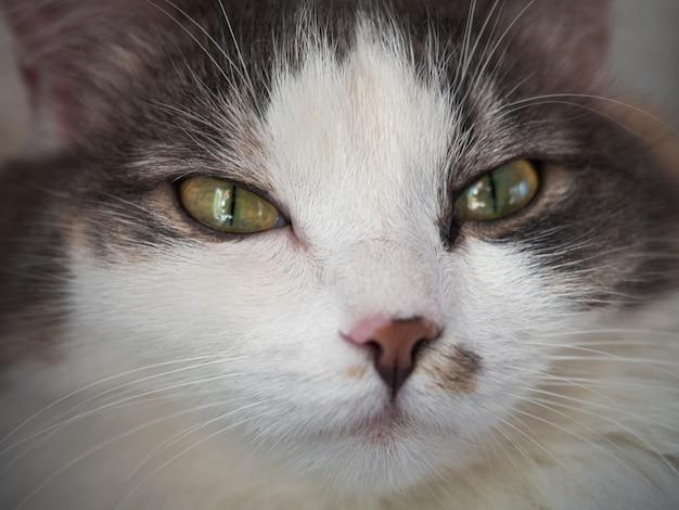 黄色い目を持つトリコロールのふわふわ猫のクローズアップの肖像画