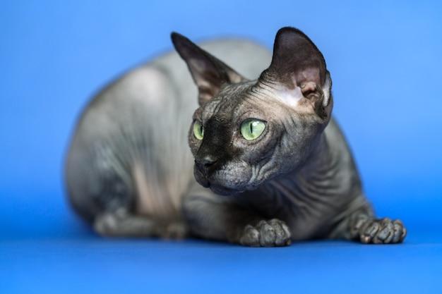 青い背景の上の愛らしい無毛の雌猫カナダのスフィンクスのクローズアップの肖像画