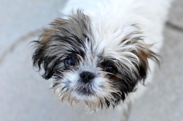 愛らしい色のシー・ズーの子犬のクローズアップの肖像画