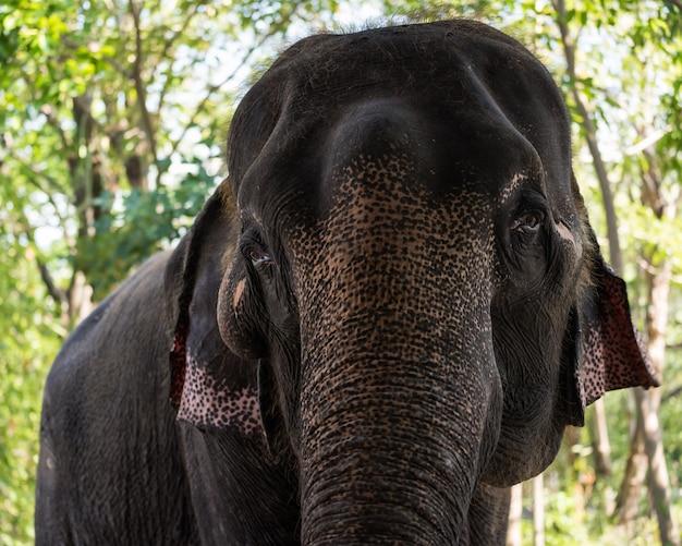 태국의 야생 숲에서 코끼리의 근접 촬영 초상화. 그것은 카메라를 봐