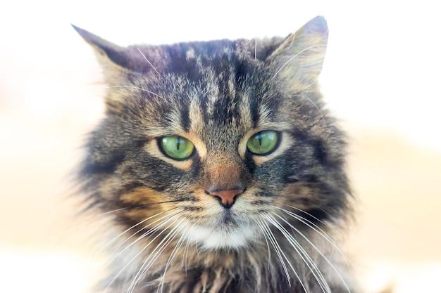 緑の目でふわふわ猫のクローズアップの肖像画