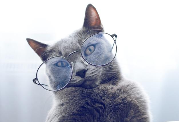 灰色の背景に眼鏡をかけて面白いロシアの青い猫のクローズアップの肖像画。