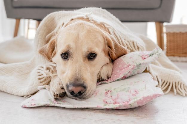 ゴールデンレトリバー犬のクローズアップの肖像画は毛布を覆い、枕の上に床に横たわっています
