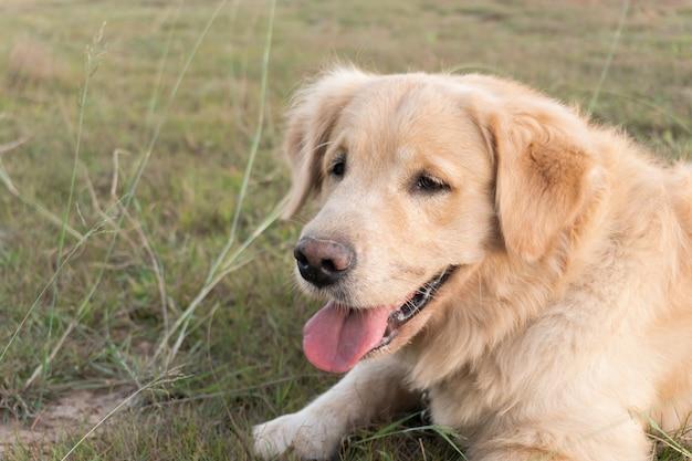 Крупным планом портрет собаки золотистого ретривера, лежащей на лужайке