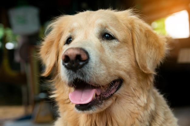 골든 리트리버 강아지의 근접 촬영 초상화