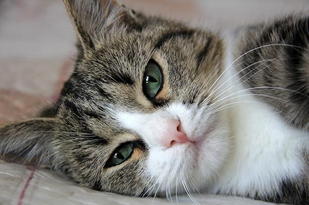 실내 침대에 누워 꽤 여러 가지 빛깔의 고양이의 근접 촬영 초상화
