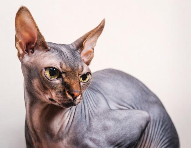 白い背景の上のスフィンクス猫のクローズアップの肖像画