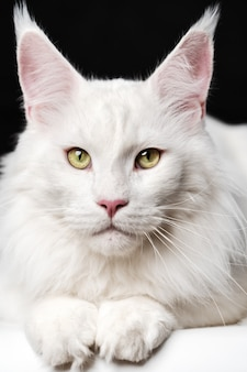 Крупным планом портрет белого цвета кошки мейн-кун на черно-белом фоне, вид спереди животного