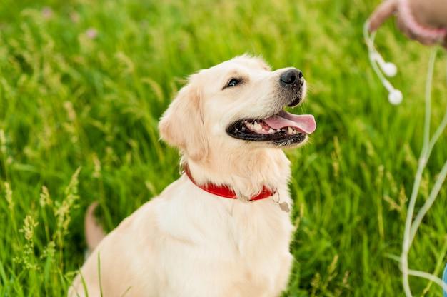 Портрет крупного плана белой счастливой собаки золотого ретривера в предпосылке лета