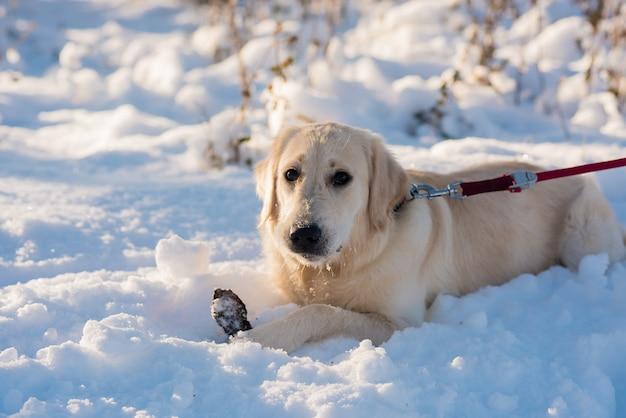 冬の自然の中で白いレトリーバー犬のクローズアップの肖像画。雪の上に座っている白いゴールデンレトリバーの子犬。晴れた冬の日