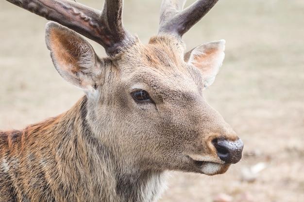 Крупным планом портрет молодого оленя с рогами_
