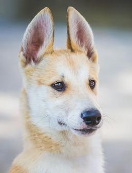 ハスキー(ライカ)の品種の若い犬のクローズアップの肖像画_