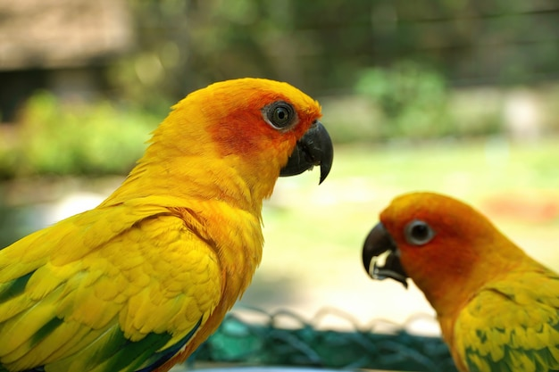 Closeup portrait of yellow lovebird parrot with blurred eating bird nearby in green garden