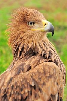 Крупным планом портрет молодой орел в траве