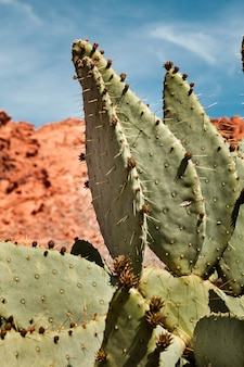 Closeup of prickly pear cactus on sunny day at valley of fire state park in nevada