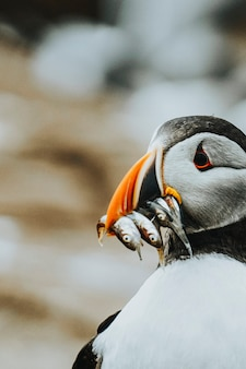 Closeup of a puffin with fish in its beak