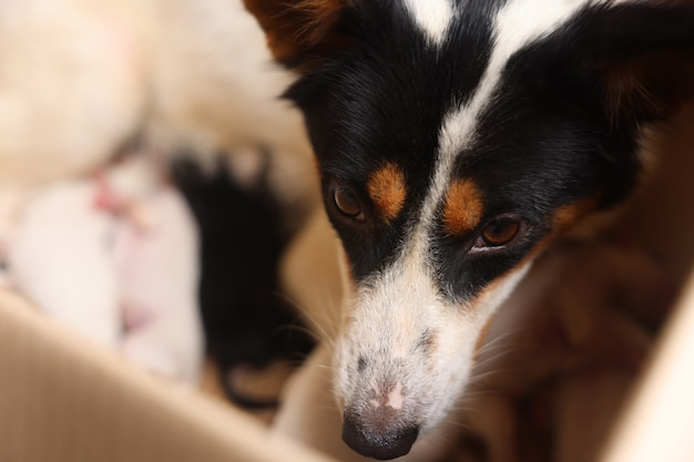Closeup of puppy with mother dog at home puppies sucking breast with milk from his mom
