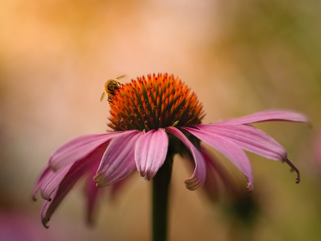 Closeup  of purple coneflower and a bumblebee