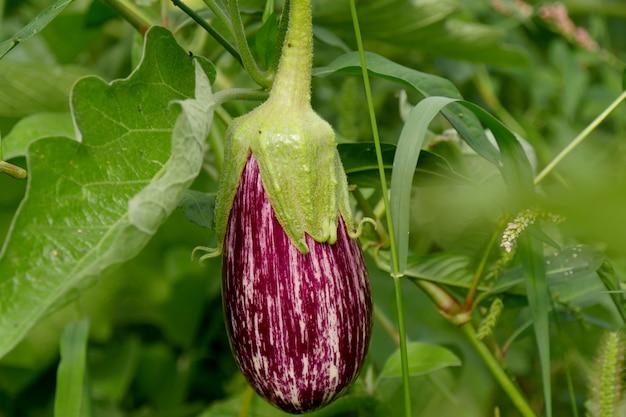 Closeup of a purple eggplant