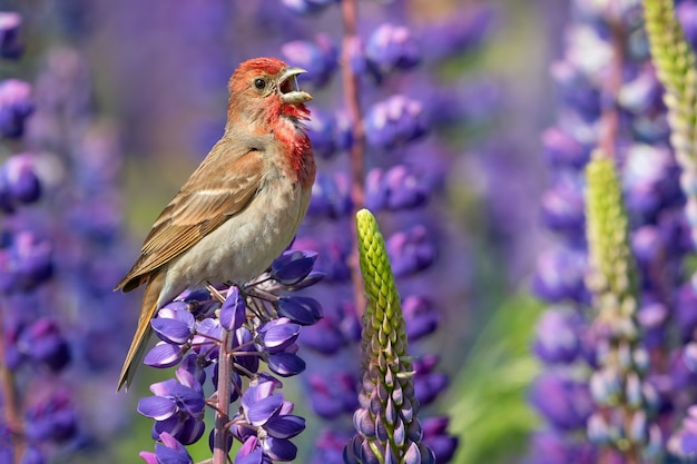 Closeup of a purple finch on lupine in a field under the sunlight