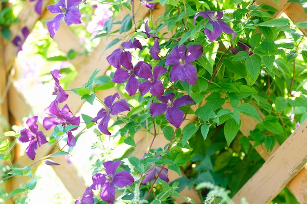 Closeup of purple flowers in wooden fence