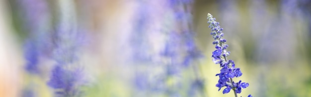 Closeup of purple lavender flower on blurred gereen background under sunlight with copy space using as background natural plants landscape, ecology cover page concept.