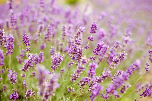 Closeup of purple lavender flowers. selective focus.