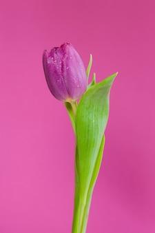 Closeup of a purple tulip flower on a purple background