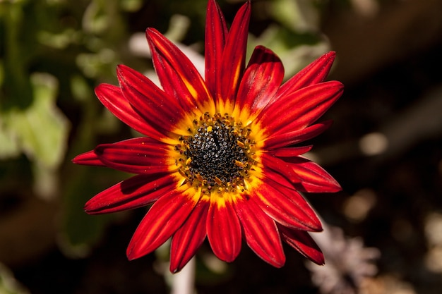 Closeup  of a red african daisy
