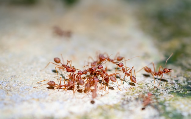 クローズアップ赤アリ