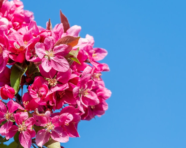Closeup of red apple tree flowers under the sunlight and a blue sky at daytime