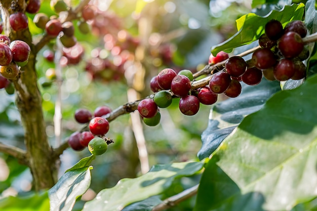 Closeup of red arabica coffee berries in coffee farm and plantations in northern thailand.