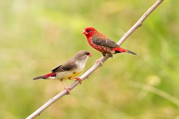 クローズアップ赤アバダバット繁殖(アマンダバ)