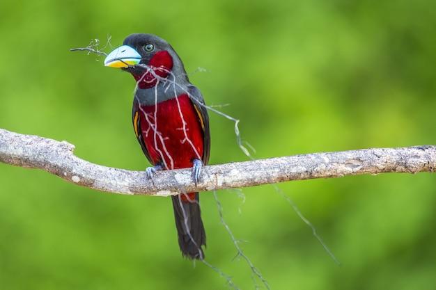 Primo piano di un uccello rosso su un ramo in sepilok park, borneo island