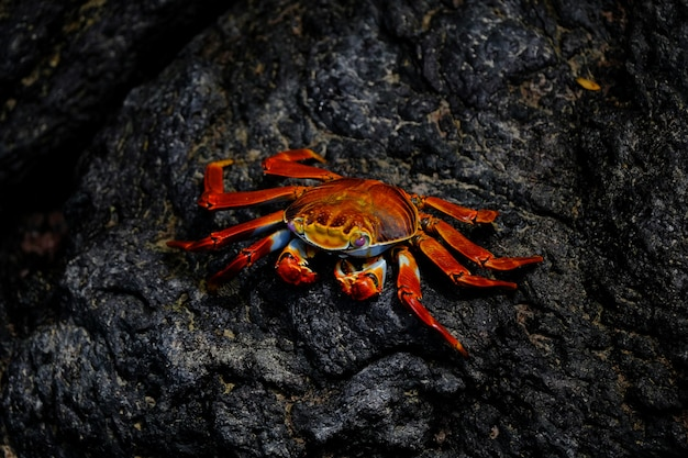 Closeup of a red crab with pink eyes resting on a rock