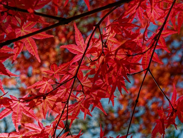 Closeup of red emperor maple tree