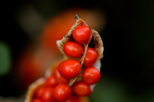 Closeup of red fruits on plant