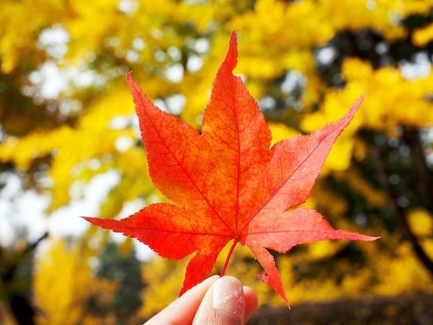 Крупным планом красный кленовый лист в руке пальцы, держась с желтыми листьями дерева боке фон