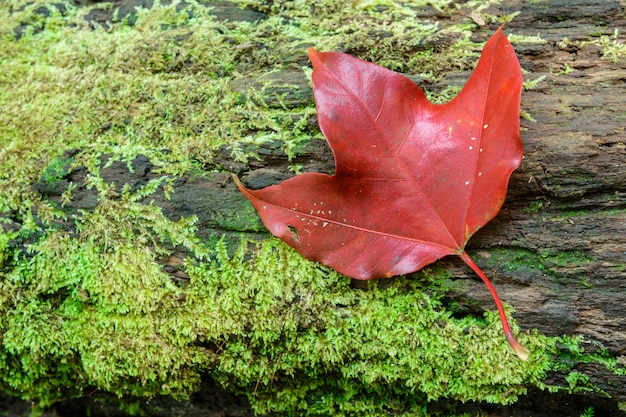 Closeup red maple leaft and green moss in the forest